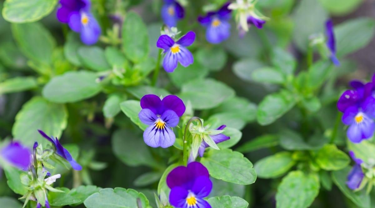 Wild Violets in Field