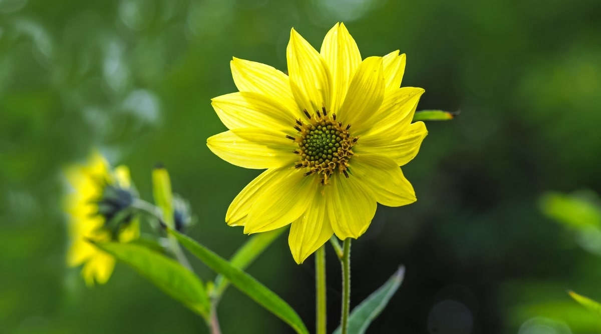 Yellow Flower With Narrow Petals