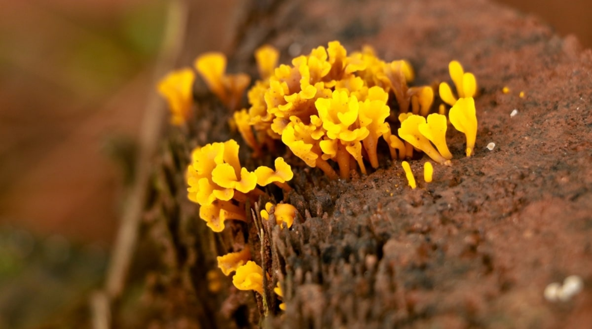 Yellow Fungus is a Proto-Epiphyte Example