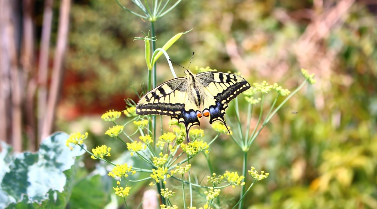 Yellow Insect on Fennel Blossom
