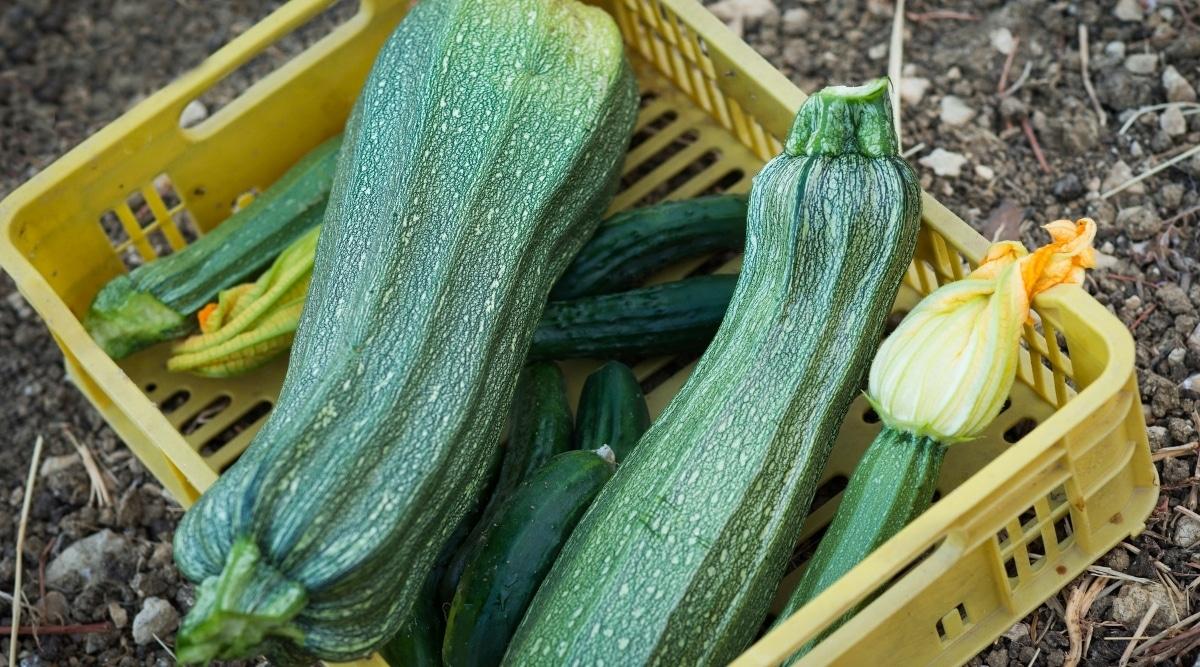 Zucchini Squash in Garden