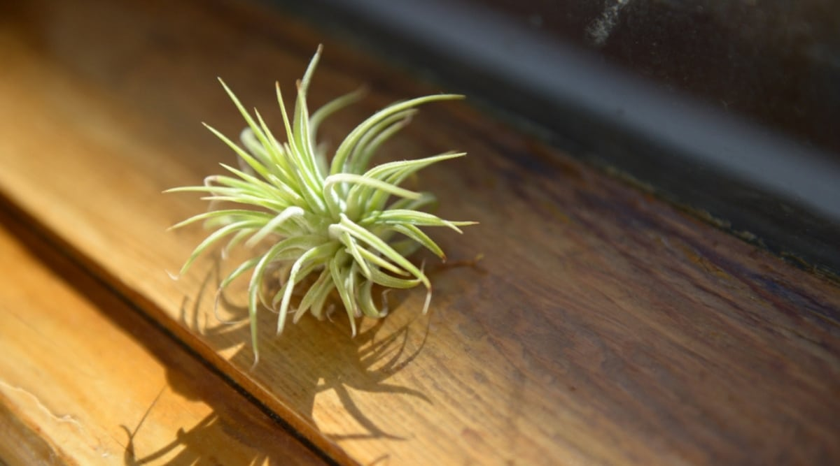 Airplant in Natural Light Next to a Window