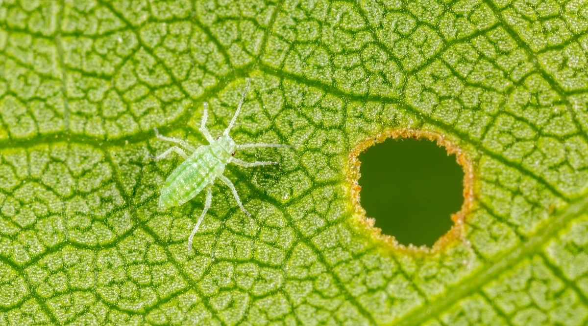 Aphid Eating a Leaf
