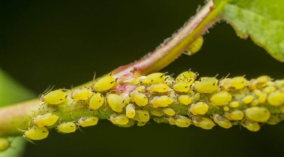 Aphids on Tree