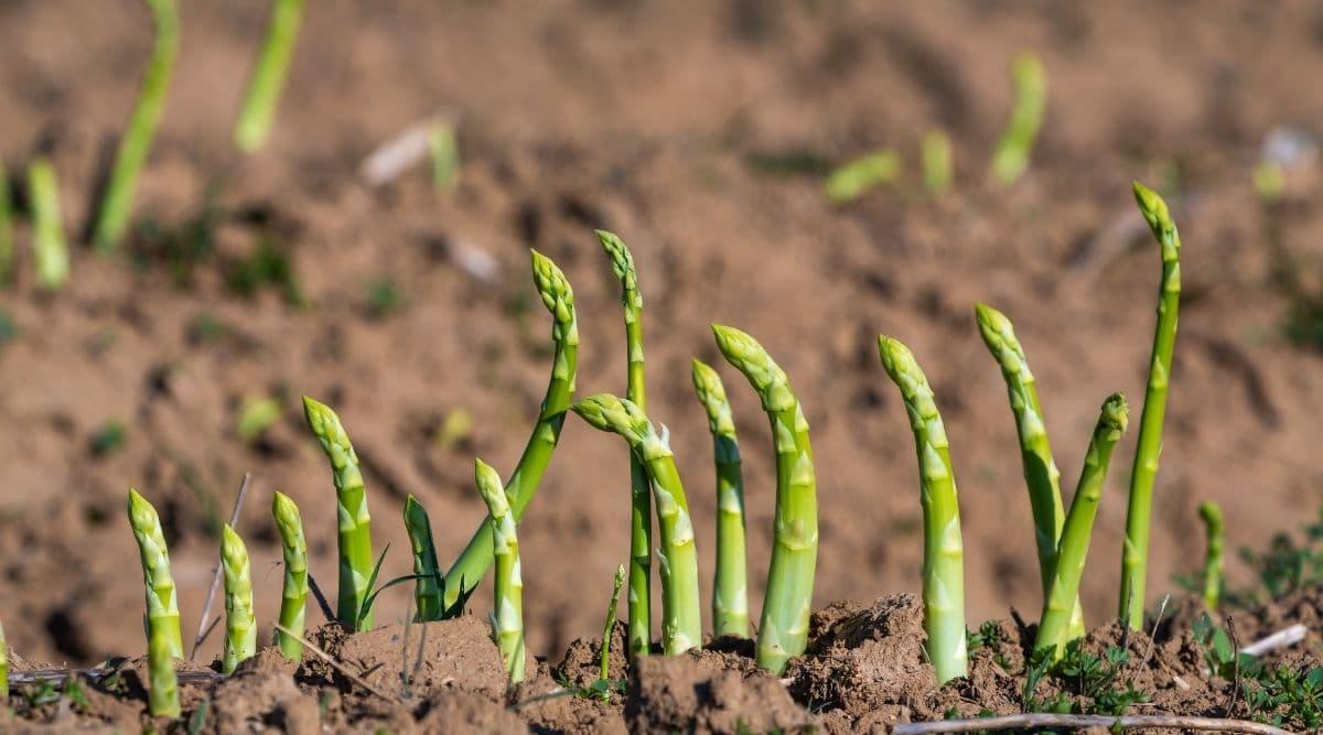 Asparagus in a Garden