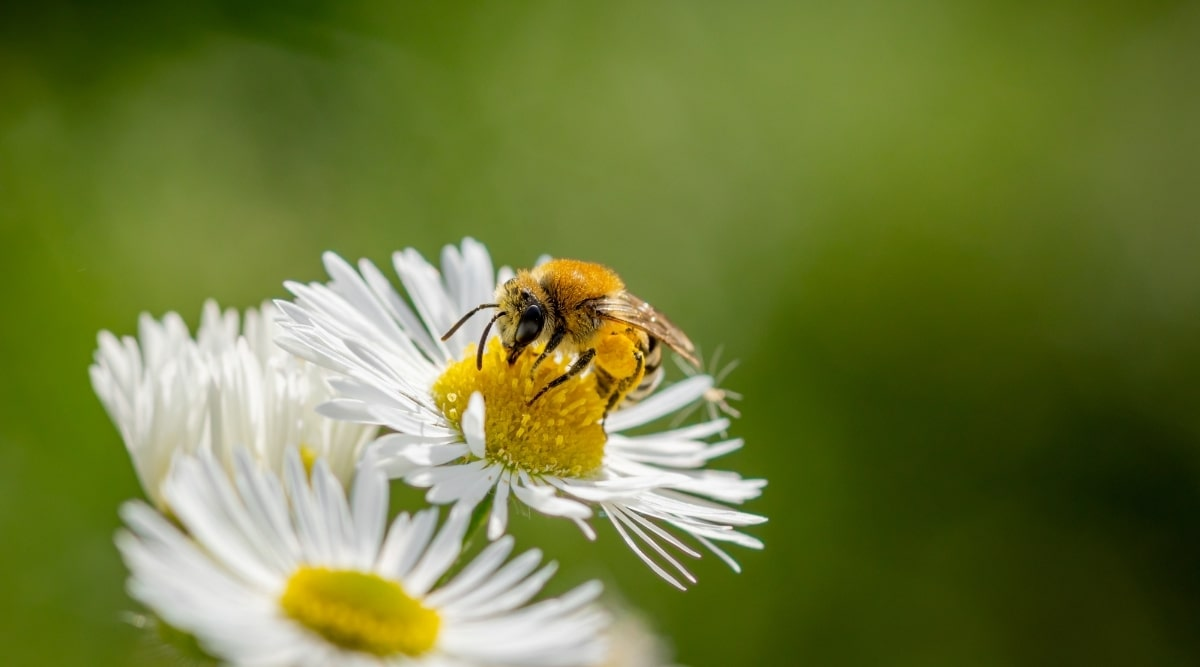 Bee Pollinating a White Flower