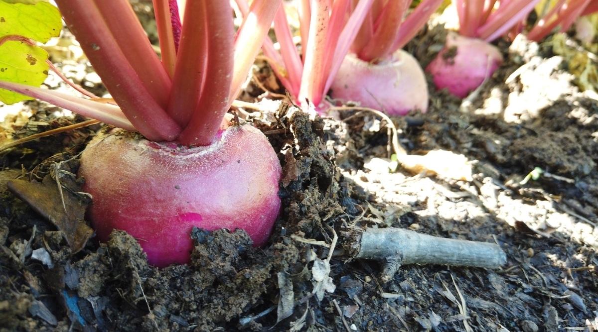 Beets in a Garden