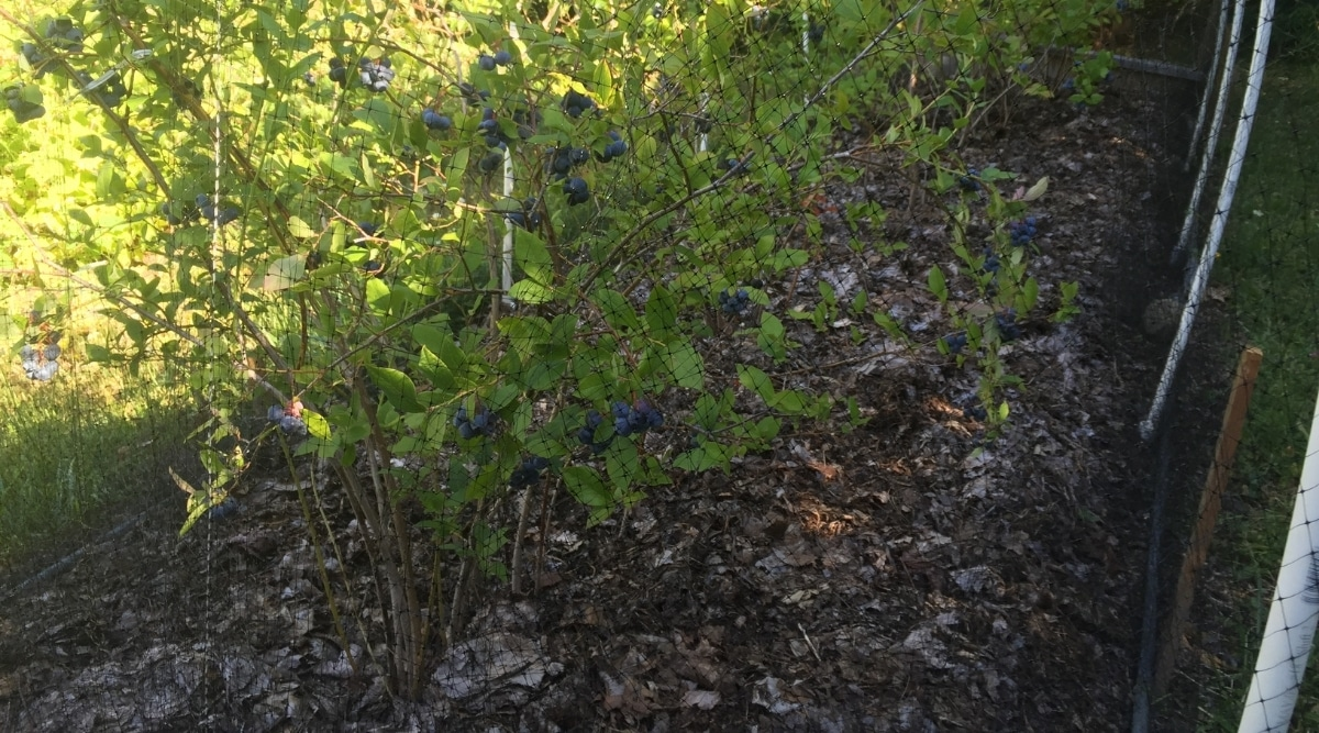 Blueberry Bushes With Leaf Mulch