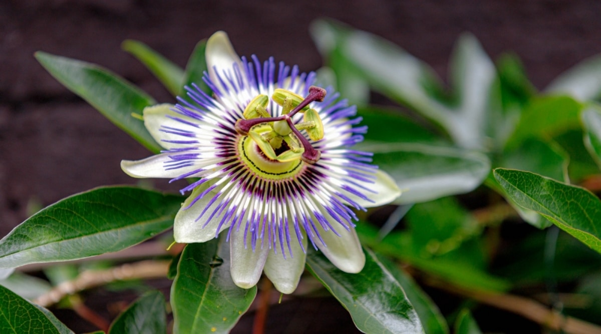 BluecrownPassionflower