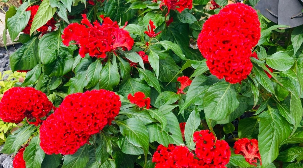 Bright Red Cockscomb Flowers