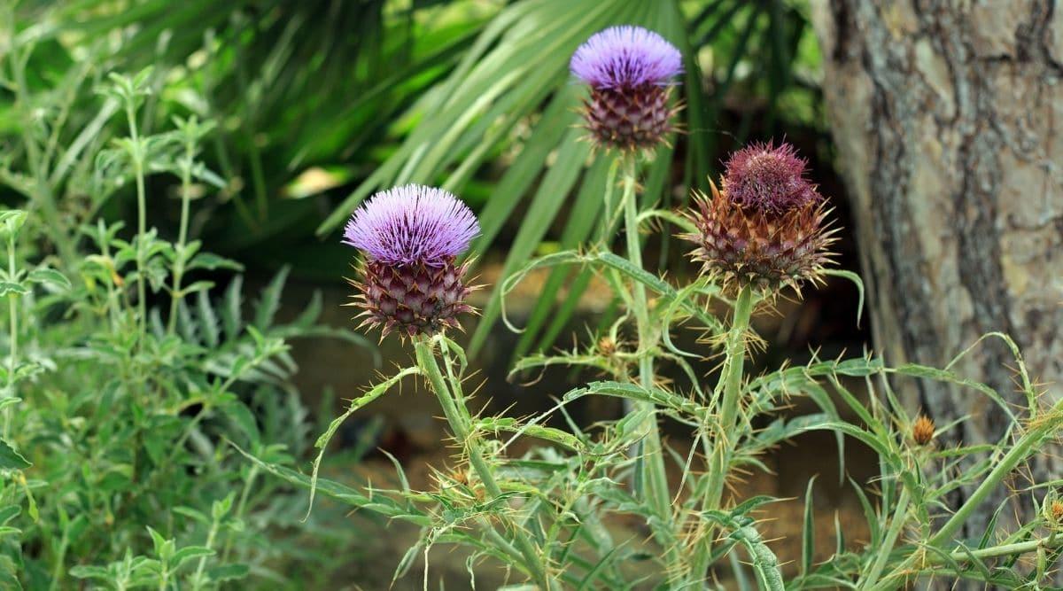 Cardoon Flowers