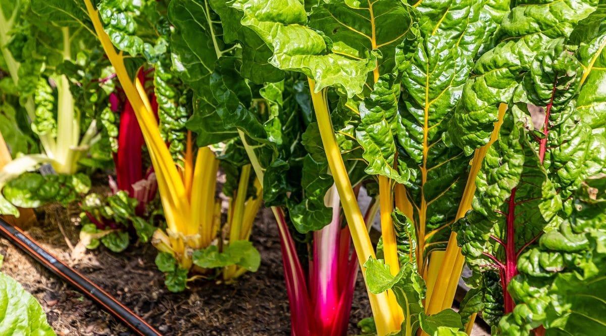 Colorful Rhubarb