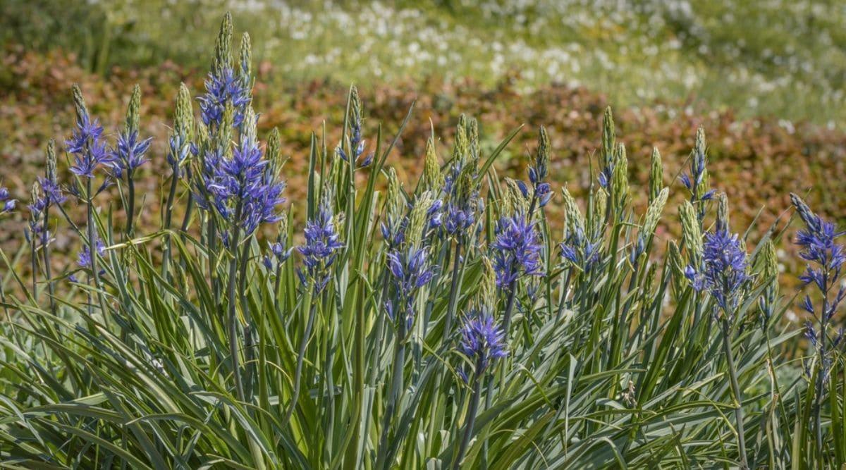 Common Camas Flowers