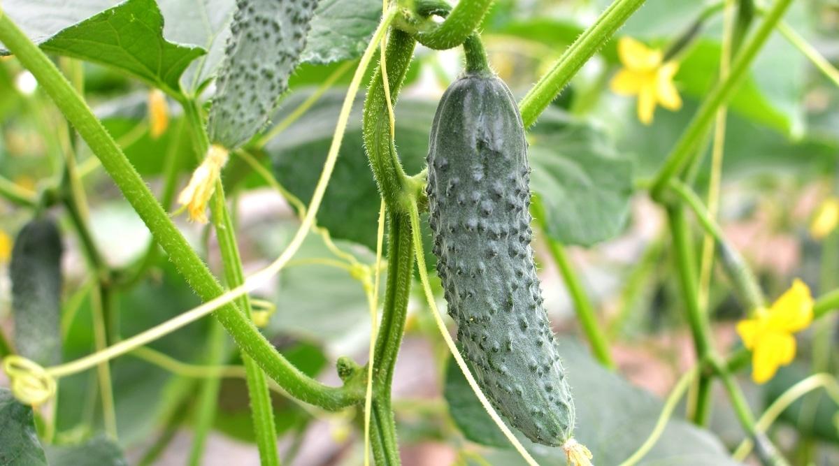 Cucumbers Grown in Greenhouse