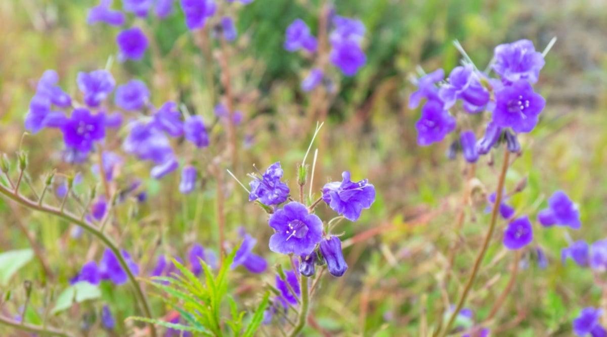 Desert Bluebells