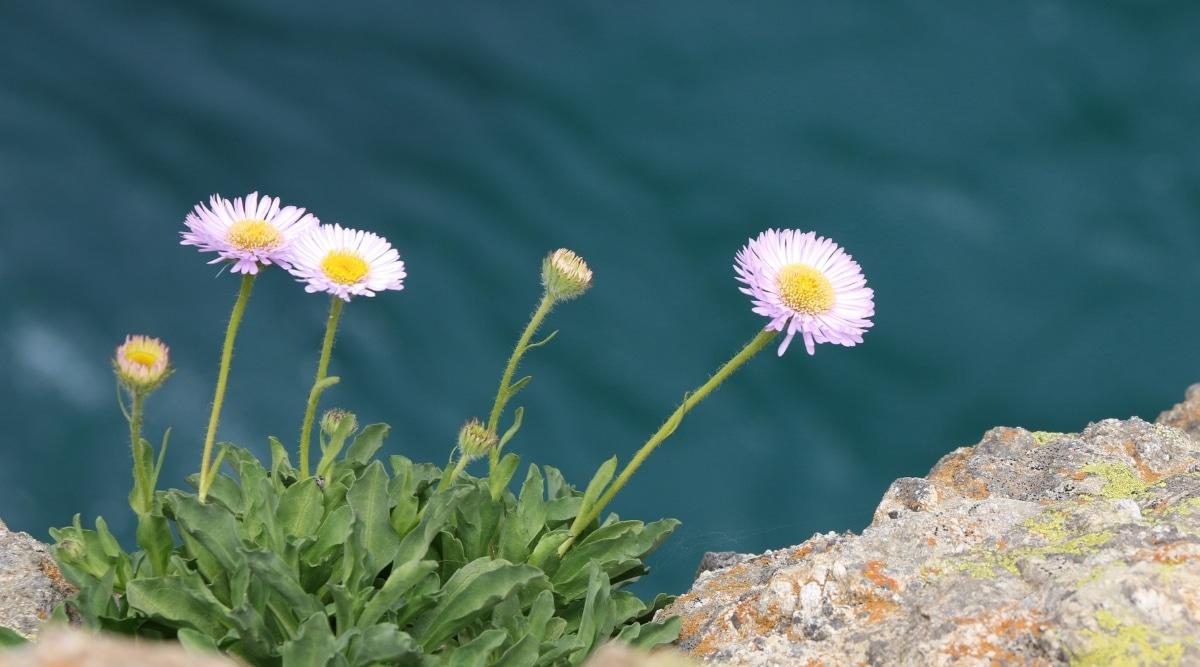 E. Annuus Near Water