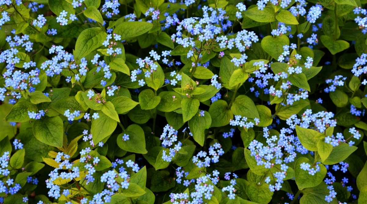 Empire Blue Butterfly Bush