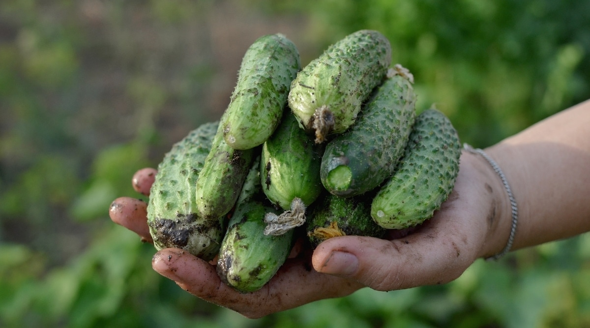 Fertilized Cucumbers Freshly Harvested in Hand