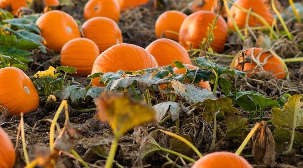 Fertilized Pumpkins in Field