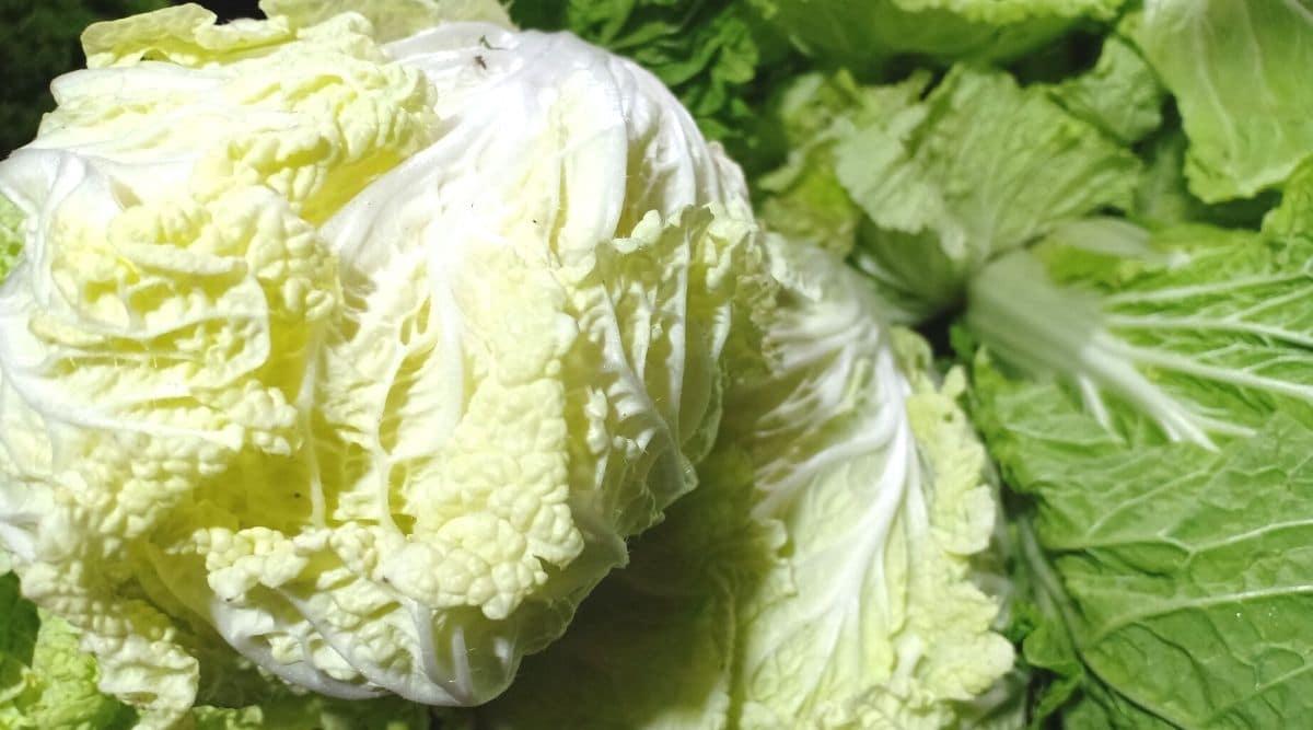 Fresh Chicory