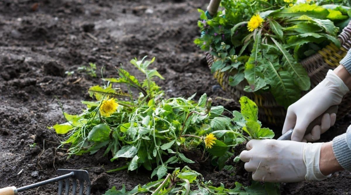 Gardener Harvesting Dandelion