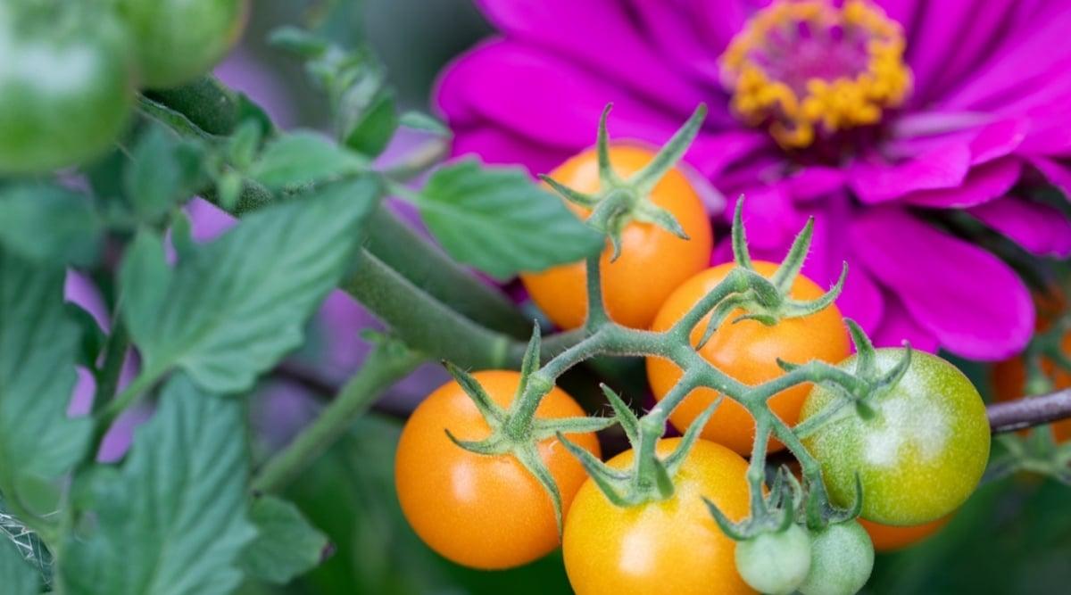 Geranium and Tomato Companion Plants