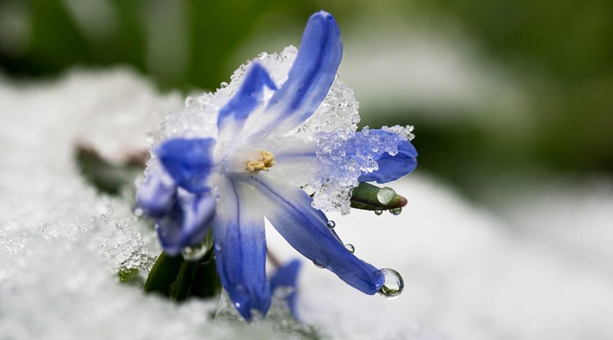 Glory of the Snow
