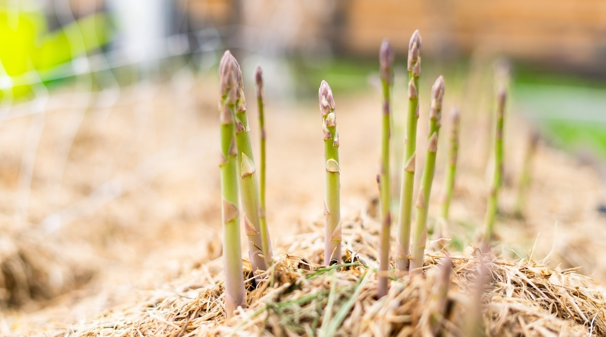 Grass Clippings Spread Around Growing Asparagus