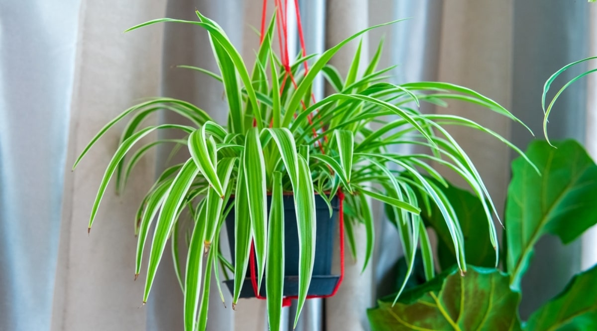 Hanging Houseplant