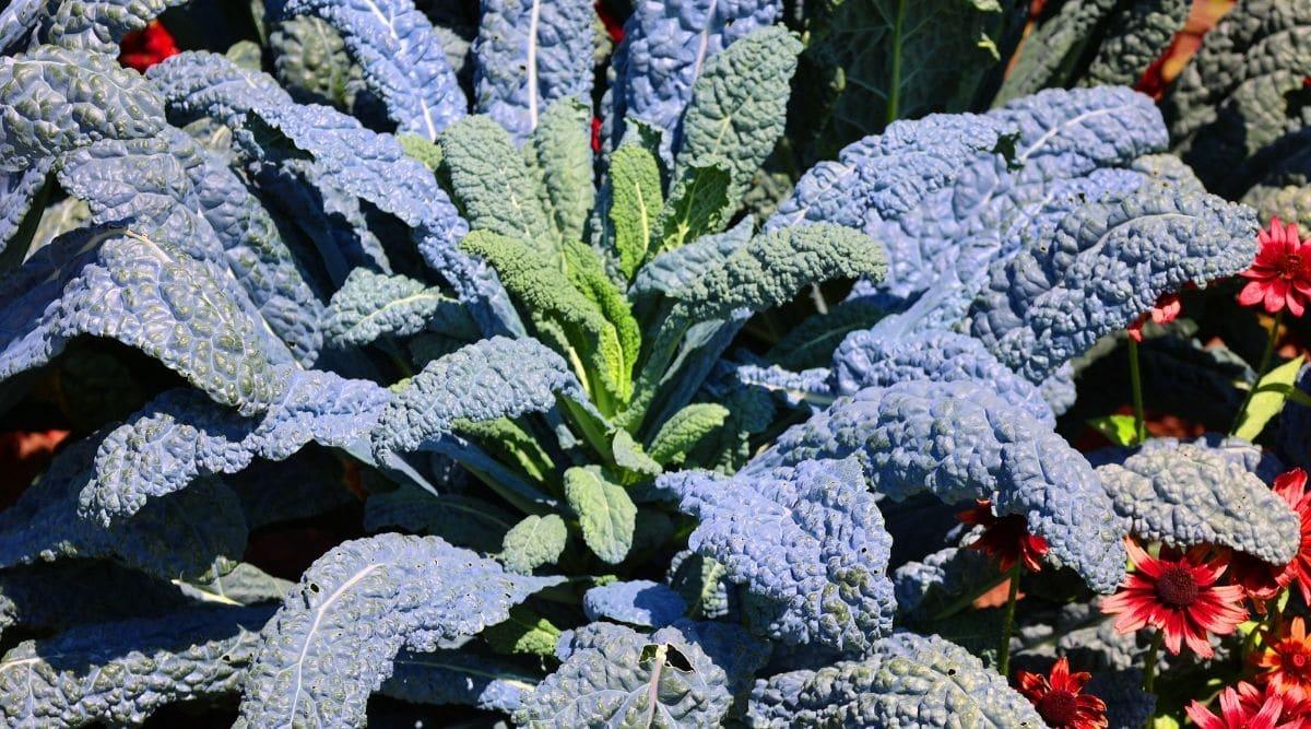 Kale in a Garden