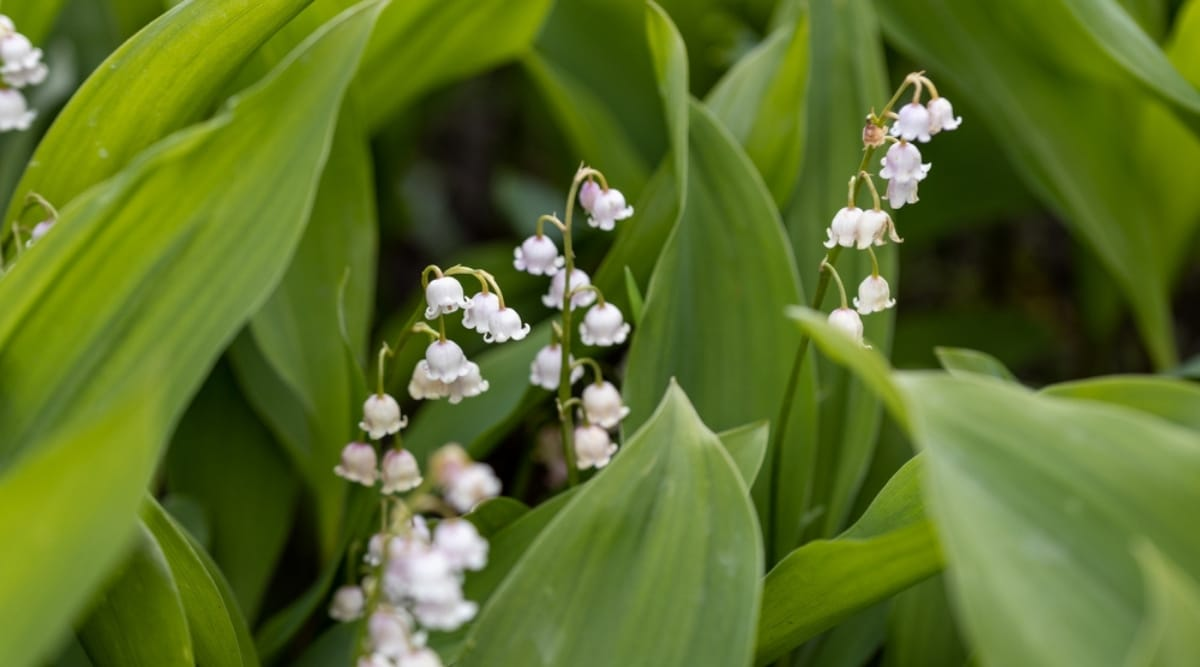 Lily of the Valley Flowers and Leaves