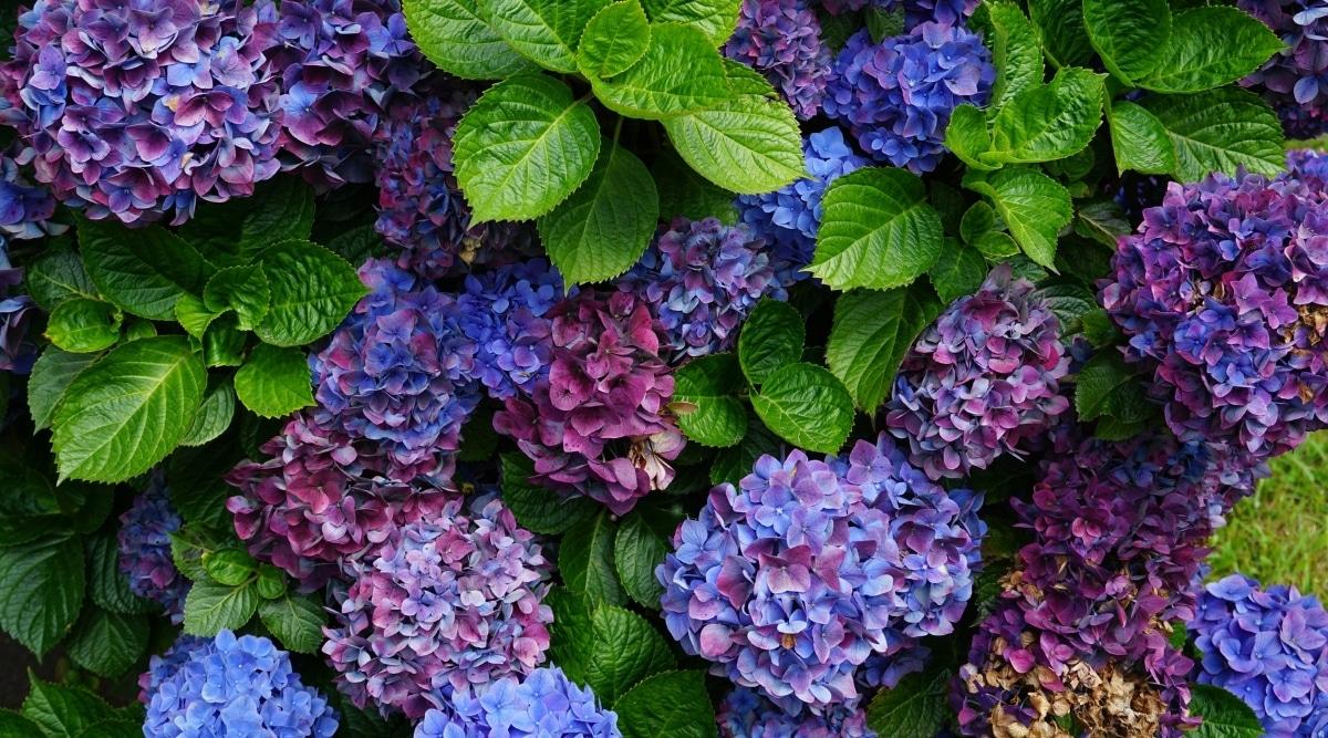 Multi Colored Hydrangea Flowers