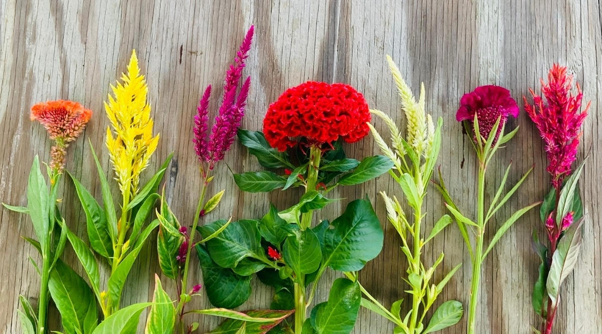 Multiple Colorful Variations of Cockscomb Flowers