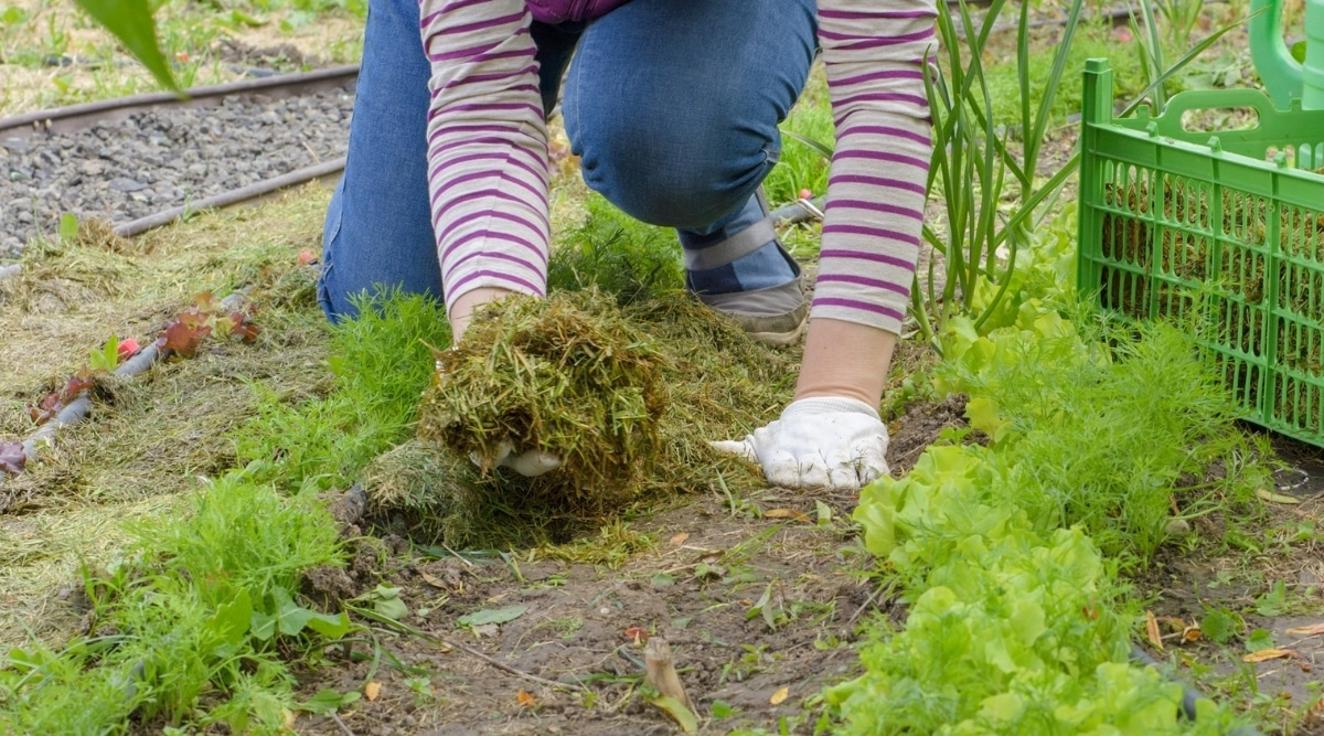 Organic Mulches for Vegetable Gardens
