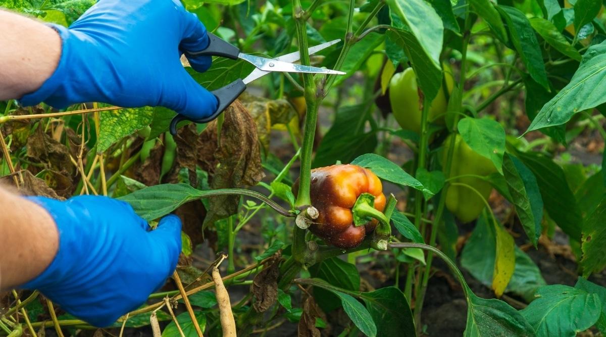 Pepper Getting Trimmed in Garden