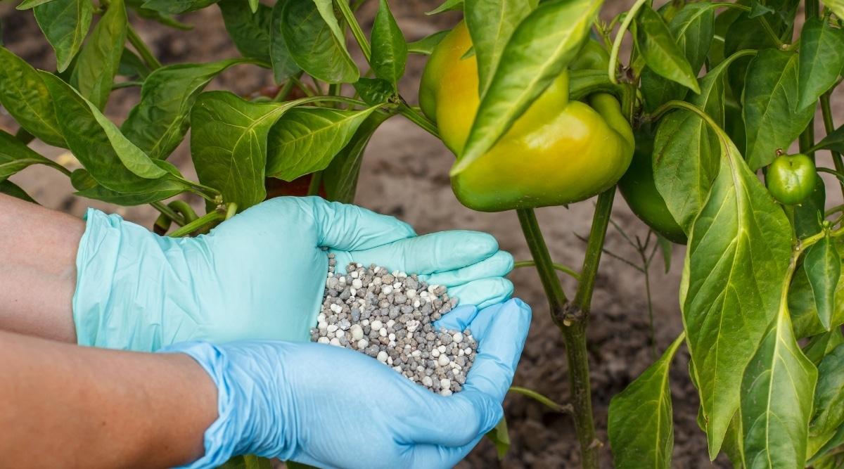 Peppers Getting Fertilized
