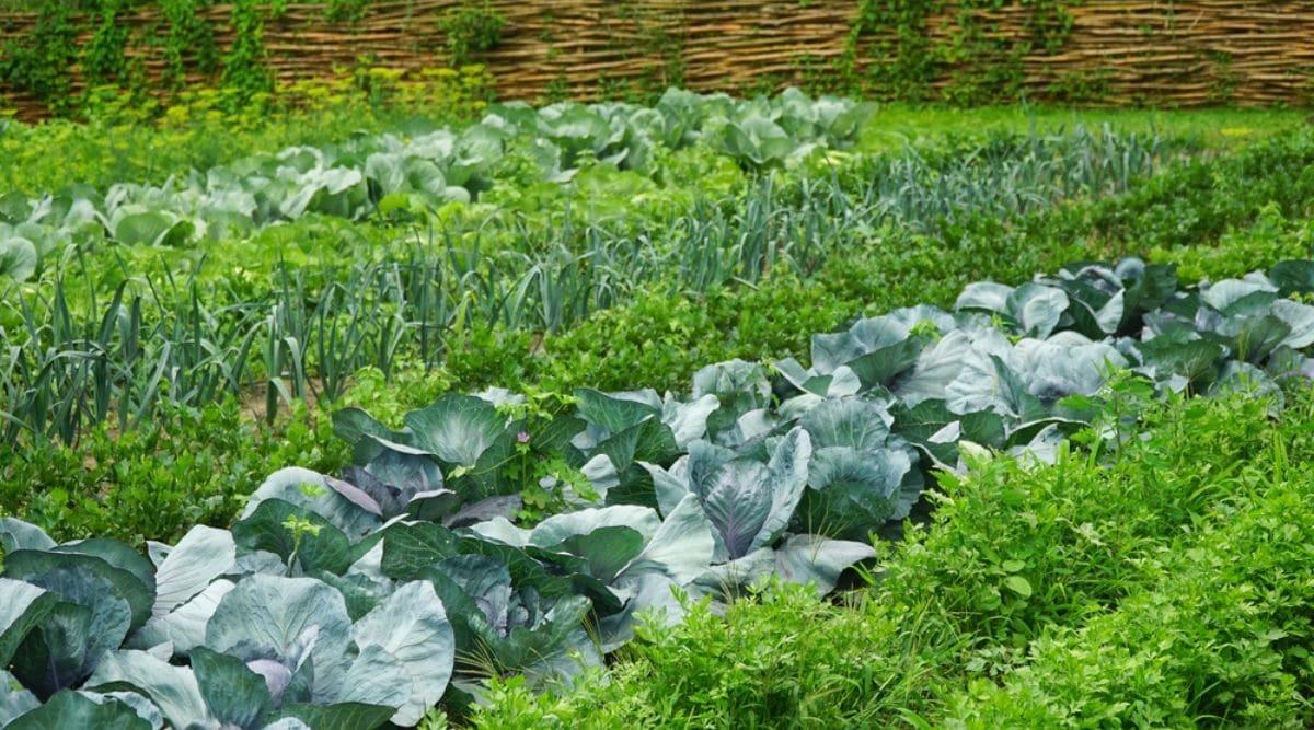 Perennial Vegetable Garden