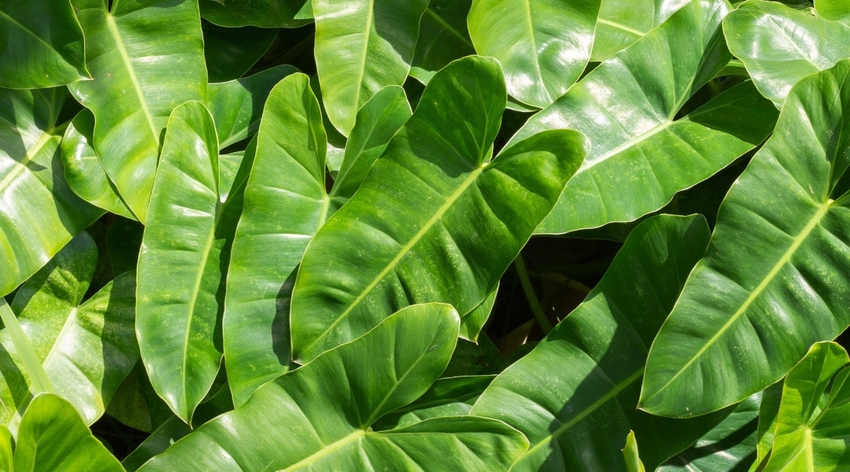 Philodendron Leaves Close Up
