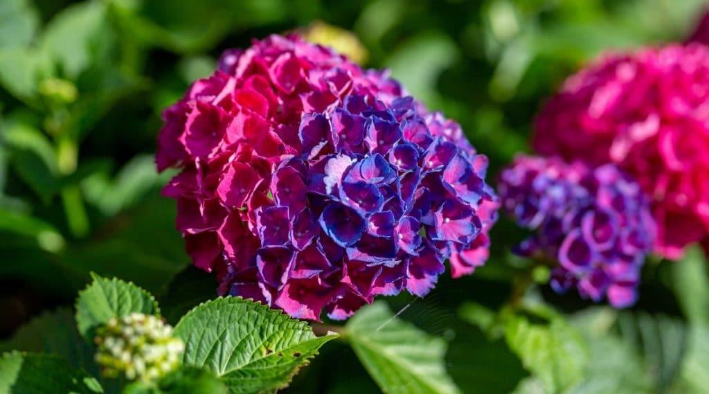 Pink Fertilized Hydrangea Plant Flower