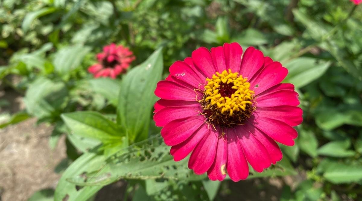 Pink Flower Growing in a Sunny Garden