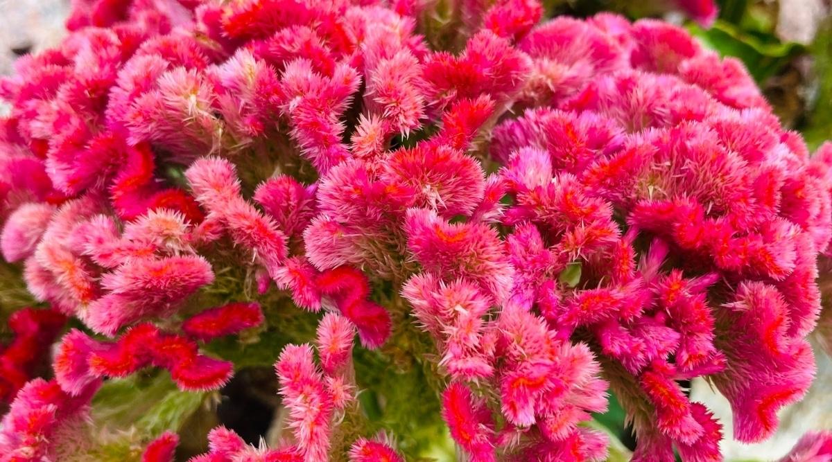 Pink King Coral Cockscomb