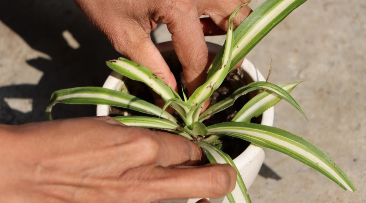 Pruning of Small Houseplant
