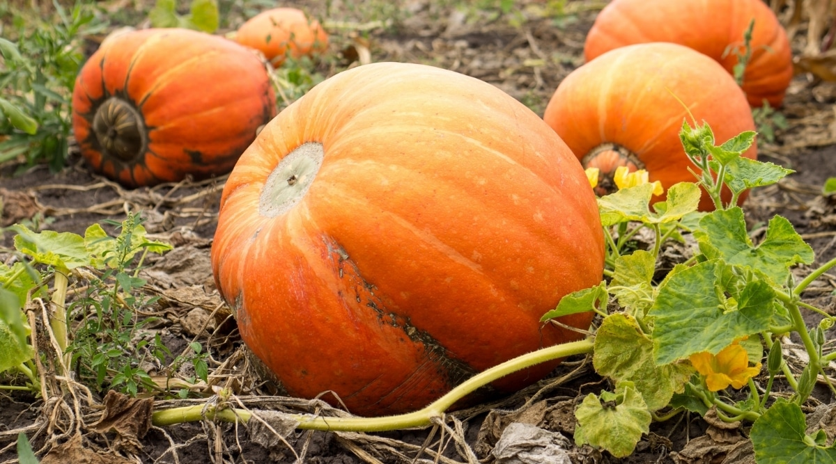 Pumpkins Ready for Harvest in Patch