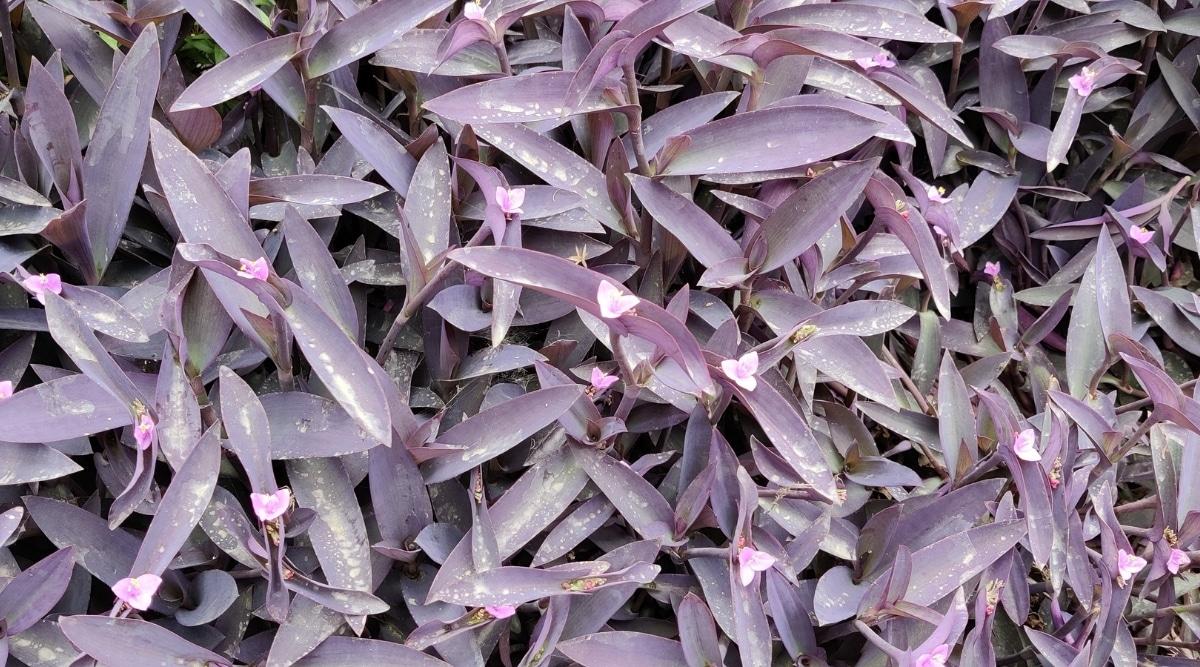 Purple Queen Runner Plant
