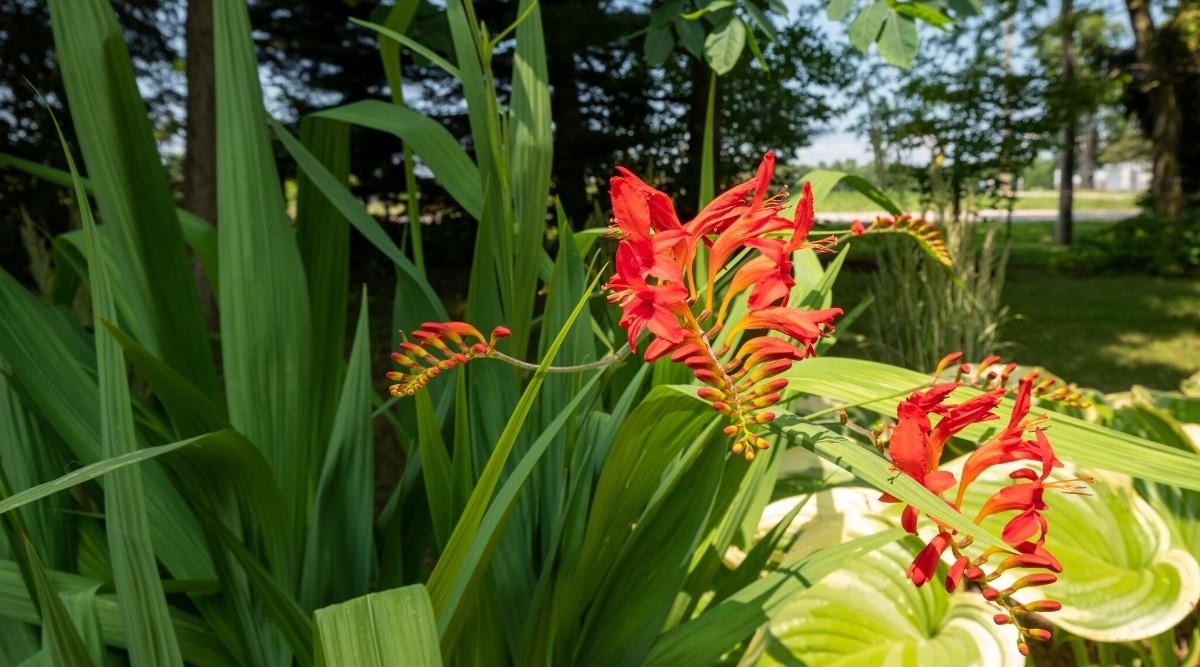 Red Crocosmia Flowers