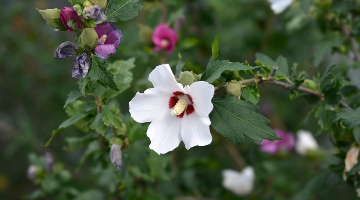 Rose of Sharon Shrub