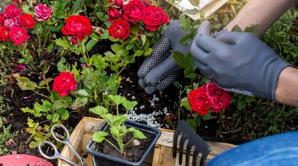 Roses Getting Fertilized in Garden