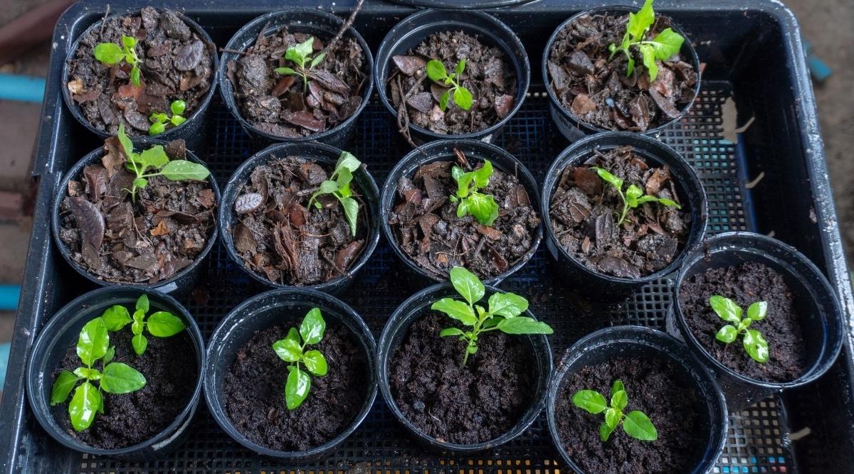 Seedlings in a Tray