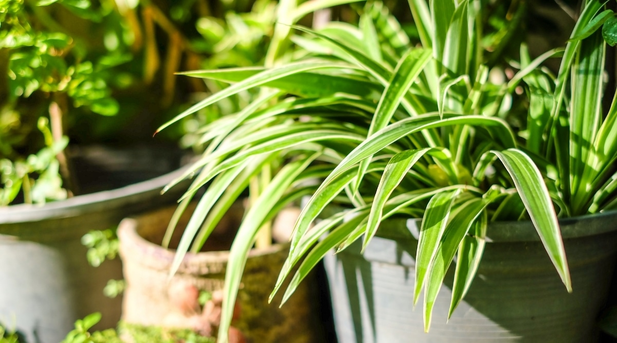 Spider Plant in Morning Sunlight