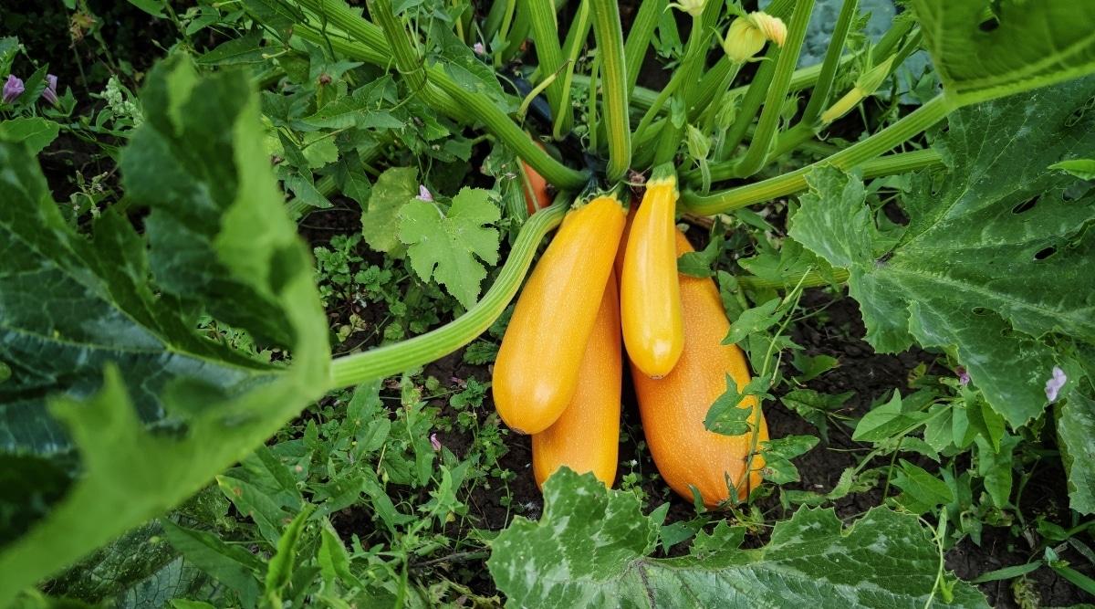 Squash Growing in a Garden